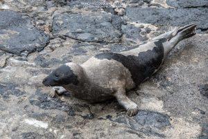 Foca-da-Gronelândia avistada no Faial