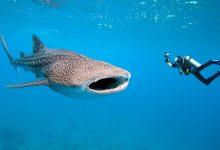 Photo of Alterações climáticas trazem tubarão-baleia ao mar da Região