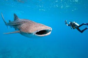 Alterações climáticas trazem tubarão-baleia ao mar da Região-Milenio Stadium-Açores