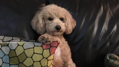 Photo of 'A little princess': Meet Maci, the 1st Canadian dog to test positive for COVID-19