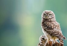 Aves Portuguesas em Declínio-portugal-mileniostadiuma