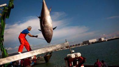 Fisheries and Oceans Canada worries tuna quota set too high-Milenio Stadium-Canada
