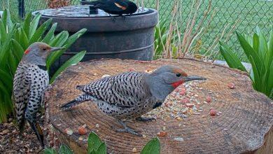 Bird watchers to survey Ontario's feathered population for 3rd Breeding Bird Atlas-Milenio Stadium-Ontario